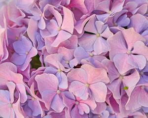 pink hortensia flower closeup, natural background