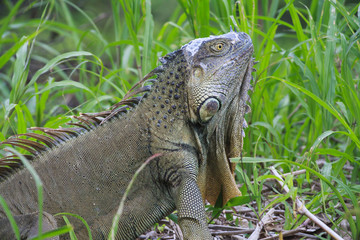 Grey Iguana in tall grass