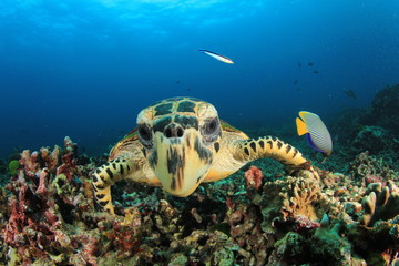Hawksbill Sea Turtle and Emperor Angelfish fish