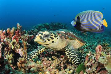 Hawksbill Sea Turtle and Emperor Angelfish fish