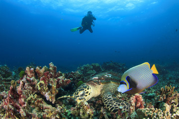 Hawksbill Sea Turtle, Emperor Angelfish and scuba diver