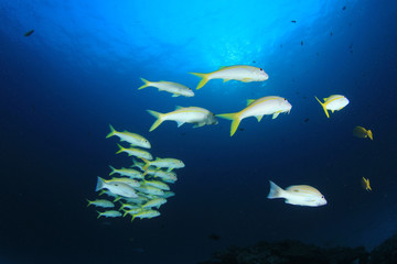 Fish school on coral reef in ocean