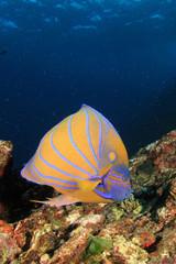 Blue-ringed Angelfish tropical fish