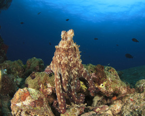 Reef Octopus rubs tentacles together in mating dispay