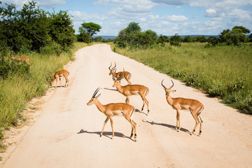 A herd of Gazelles in the middle of the road in Tarangire National Park