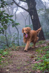 The golden retriever in the woods