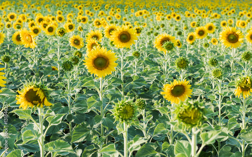 sunflower field picture blooming - photo #15