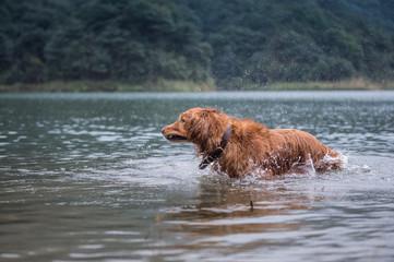 golden retriever in the river