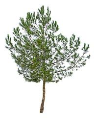 Photo sur Toile Oliviers Pine tree