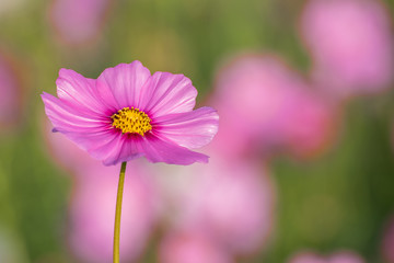 Beautiful Cosmos flowers.