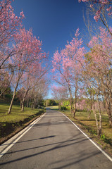 Wild Himalayan Cherry at Chiang Mai, Thailand