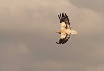 Adult of Egyptian vulture flying. Neophron percnopterus