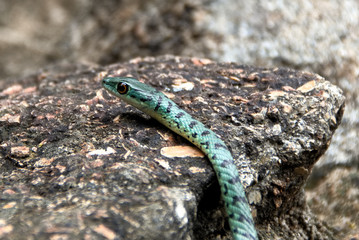 Spotted Bush snake moving over the rocks to get to the cover of the trees
