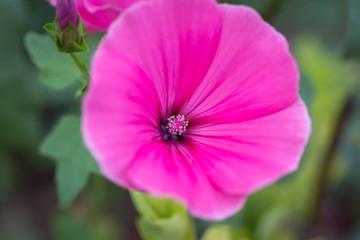 Pink mallow flower on a grass background. bright flower bud summer day.  lat. Malvaceae, Málva