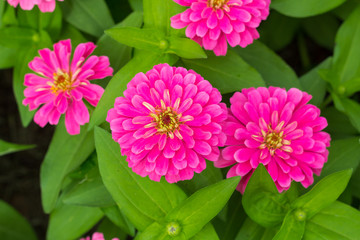 Blossom Pink Flowers and green leaves in Garden