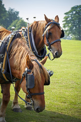 Shire horses in sunny field resting at country fair
