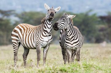 Burchells Zebra Stallions