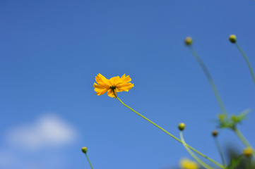 yellow flower on blue sky cloud background in spring season suns