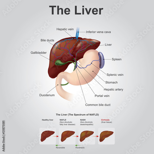 The Liver Is A Vital Organ Of Vertebrates And Some Other Animals In