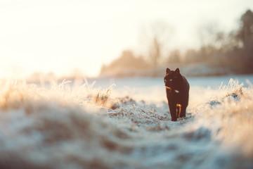 Foto auf Leinwand Panther Schwarze Katze im Winter