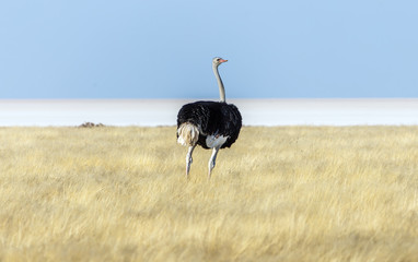 Ostrich in Etosha National Park - Namibia, South-West Africa