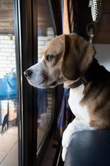 Beagle guckt aus dem Fenster