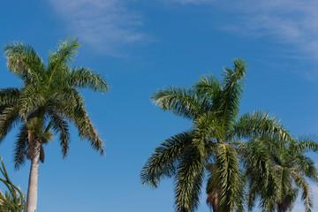 Königspalme auf Kuba Varadero