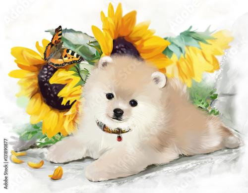 Pomeranian watercolor illustration