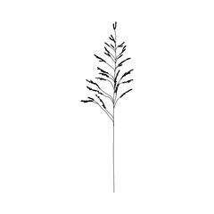 Drawing of a meadow weed Johnson grass