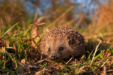 european hedgehog, erinaceus europaeus, Czech republic