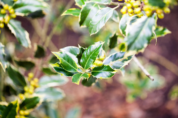 Ilex aquifolium (Golden queen holly) - tree and details