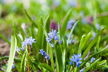 Blue bell (Scilla bifolia) plant with flowers and natural background