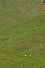 New Zealand, grazing, sheep