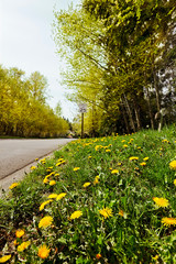 Quiet road with Spring dandelions & new leaf buds