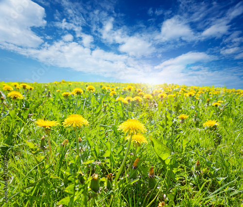 Sunny field of grass and dandelions on a Spring afternoon