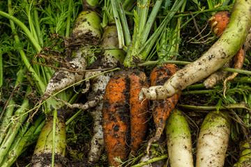 Carrots harvest organic