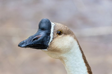 The Chinese goose is a breed of domesticated goose descended from the wild swan goose. Chinese geese are large size, and in having an often strongly developed basal knob on the upper side of the bill.