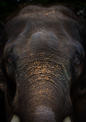 Elephant face Portrait in the background