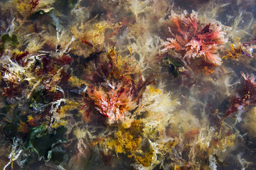 Seaweeds washed ashore and lying in shallow water