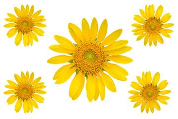 beautiful sunflower on white background