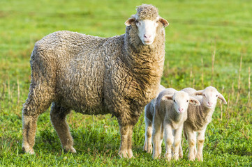 A Merino sheep with thick woolen coat and newly born twins