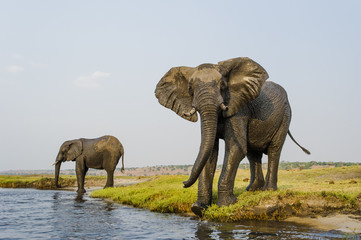 African Elephant bulls drinking on the banks of the Chobe River