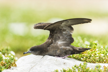 Wedge-Tailed Shearwater strectches its wings
