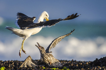 Adult Kelp Gull attacking a juvenile Kelp Gull.