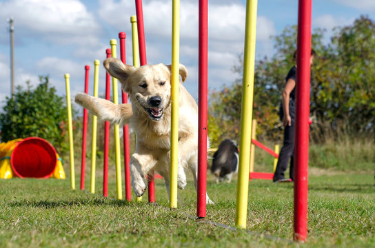 Dog agility slalom, sports competitions of dogs in the summer in