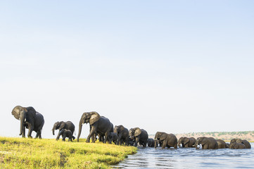 A herd of African Elephants emerge on to an island after swimmin