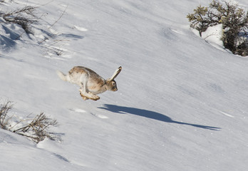 Shadow Racing - A snowshoe hare in transition from white to brown appears to be racing its shadow.