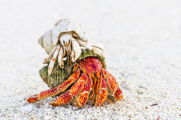 White hermit crab riding on back of red hermit crab, Seychelles