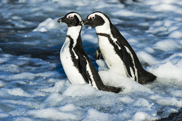 African Penguins fighting in the shallows