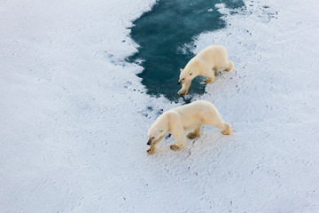 Polar bear mother with cute cub walking on ice